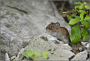 neugierig... Rötelmaus *Clethrionomys glareolus*