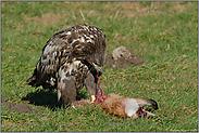 energisch... Seeadler, juv. *Haliaeetus albicilla* (10/11)