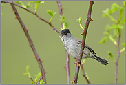 singend... Mönchsgrasmücke *Sylvia atricapilla*