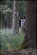 hinter'm Baum... Rothirsch *Cervus elaphus*