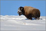 endlich Sonne...  Amerikanischer Bison *Bison bison*