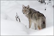 überraschter Blick... Kojote *Canis latrans*